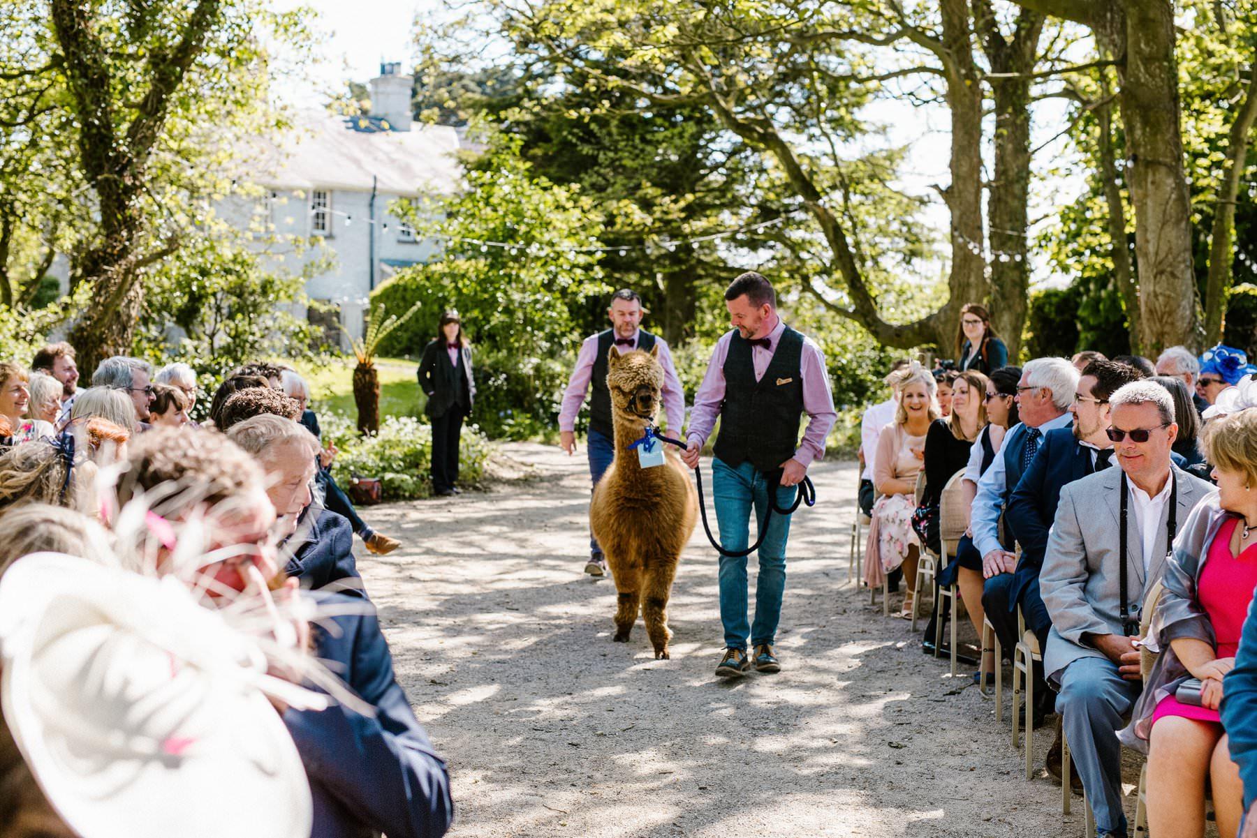 alpaca ring bearer wedding photography northern ireland