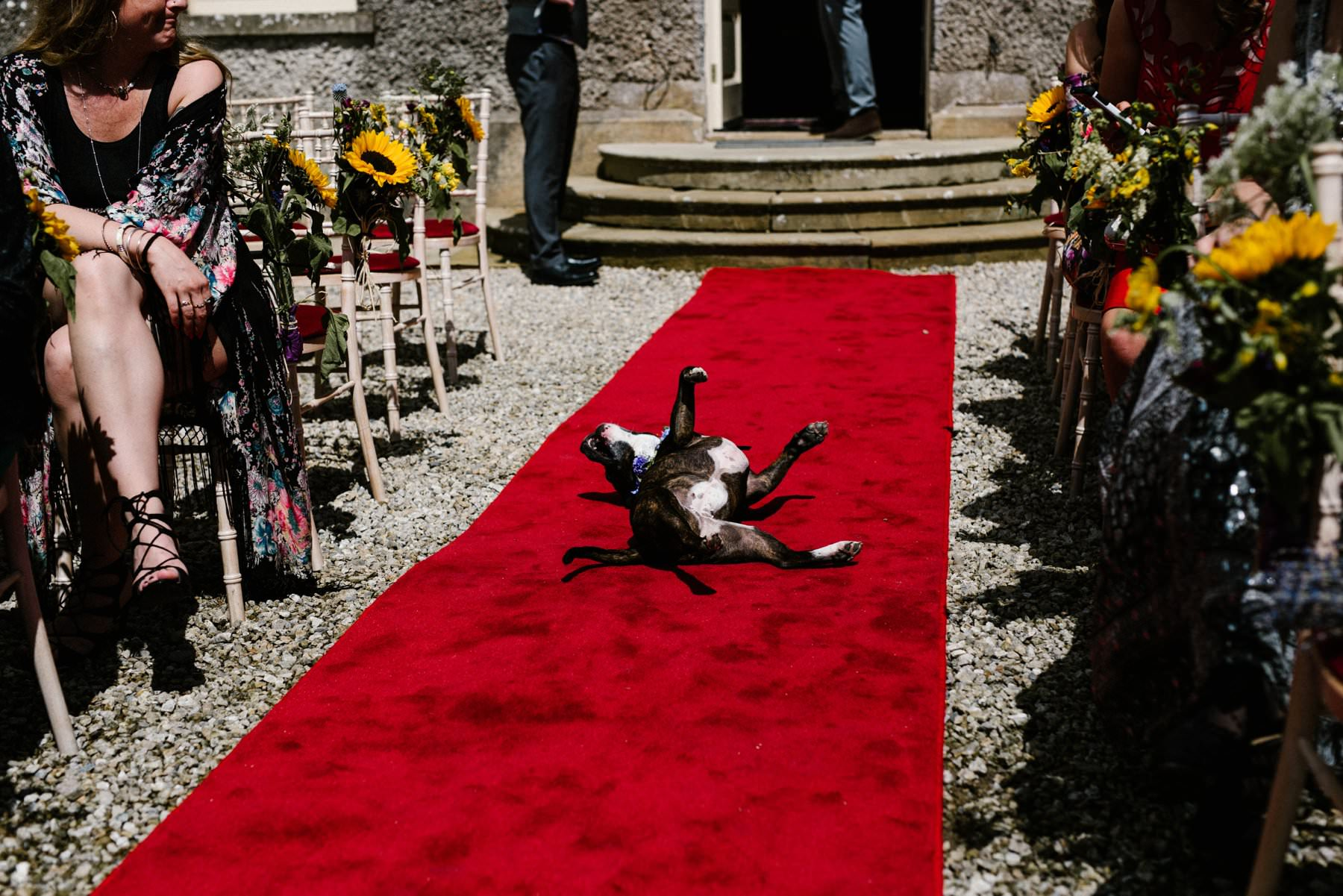 dog rolling around on red carpet before bride arrives wedding photography ireland