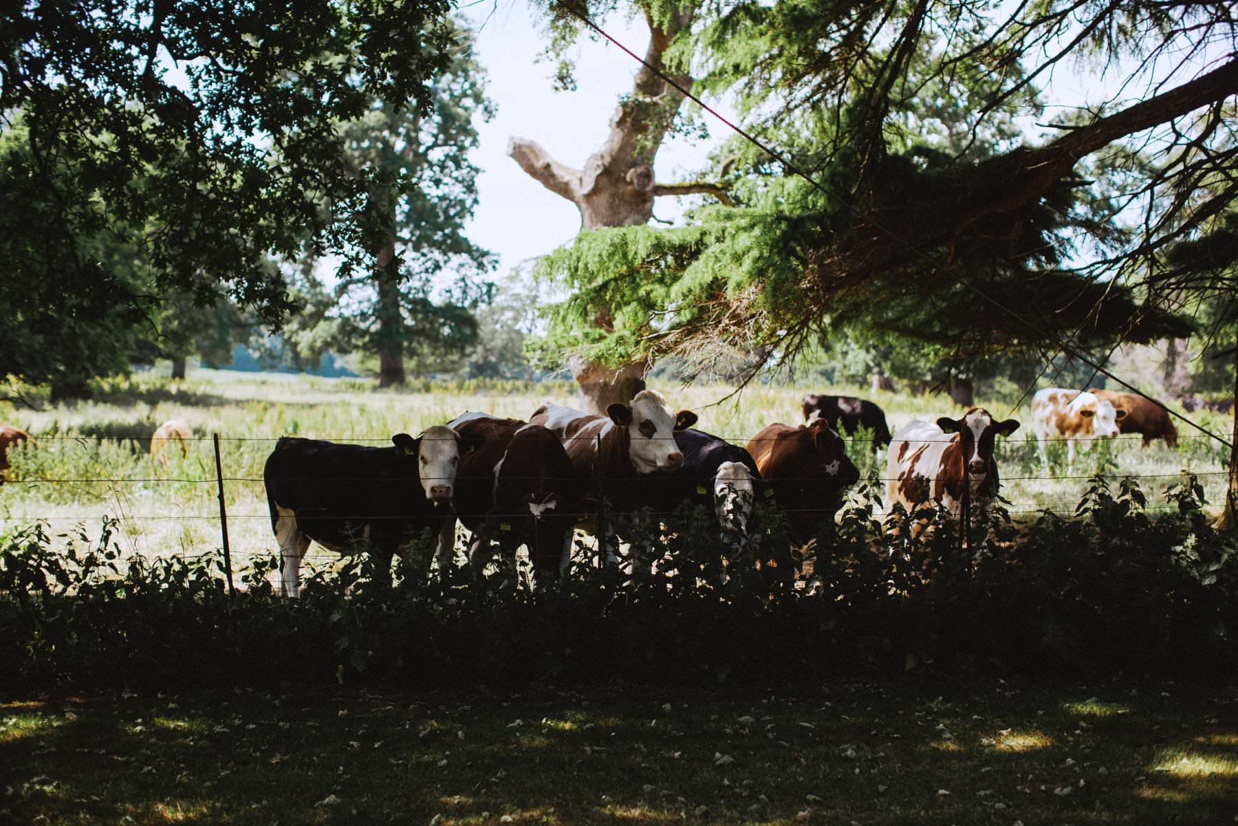 cattle in the fields of larchfield estate northern ireland