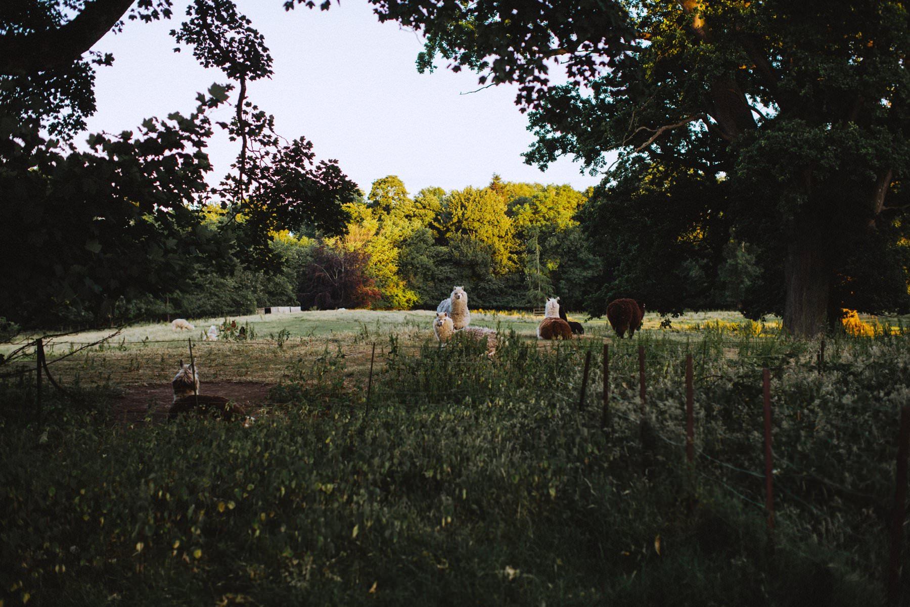 alpacas at larchfield estate northern ireland